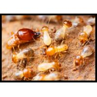 Quality High Effect Professional Termite Treatment CAS 120068-37-3 Fipronil 0.5% DP wholesale